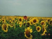 20000819-sunflower